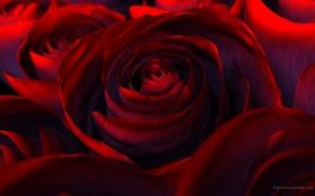 Wallpaper flowers, beauty, red, rendering, beautiful nature wallpapers, red, Rose, rose, petals, flower