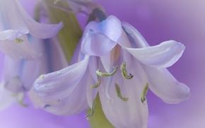 Wallpaper macro, petals, stamens, bell