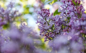 Picture flowers, branches, color, spring, lilac