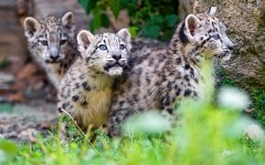 Picture grass, cats, stone, kittens, snow leopard, walk, kids, wild cats, zoo, curiosity, Trinity, Barca, glazastik
