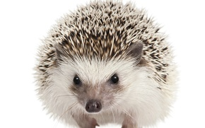 Picture eyes, barb, muzzle, white background, hedgehog, mammals