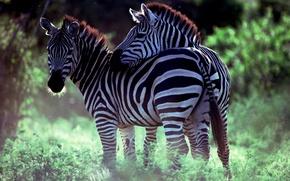 Picture pair, Savana, Zebra