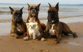 Picture sea, dogs, shore, the situation, security, walk, defenders, bodyguards
