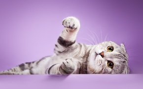 Picture look, cat, legs, color, Scottish, fold
