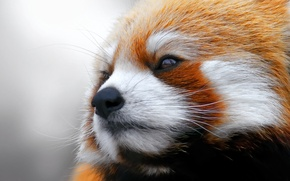 Wallpaper red Panda, firefox, looks