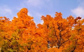 Picture Sky, Tree, Autumn, Trees, Leaves, Maple, Orange