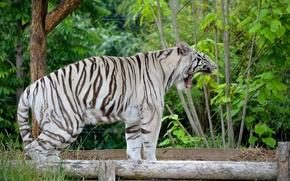 Wallpaper predator, fangs, white tiger, mouth, yawns, wild cat