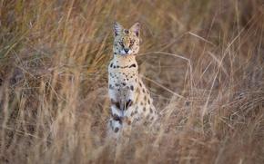 Wallpaper look, Serval, predator, nature, grass, wild cat