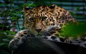 Picture greens, look, leaves, animal, predator, leopard, log