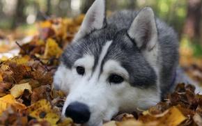 Wallpaper Dog, nature, husky, sad. eyes, breed, leaves, autumn, forest