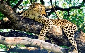 Wallpaper leopard, look, predator, stay, tree