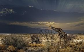 Picture grass, giraffe, the bushes, wildlife