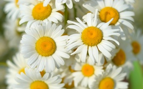 Picture Wallpaper, chamomile, bouquet, spring, field
