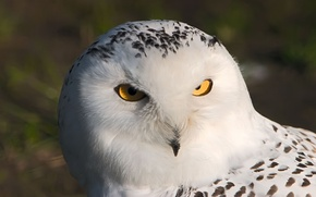 Wallpaper macro, bird, owl, owl, white, eyes