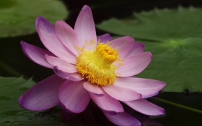 Picture flower, leaves, pond, pink, Lotus, Lily, water Lily, large