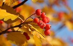 Wallpaper autumn, leaves, yellow, red, tree, berry, Rowan