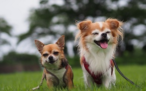 Picture dogs, joy, mood, a couple, Chihuahua