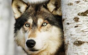 Picture look, predator, Wolf, birch