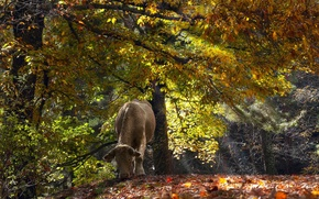 Picture autumn, forest, cow