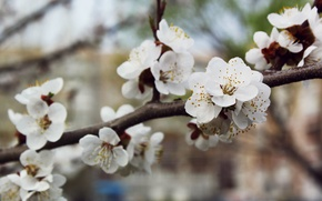Picture tree, Flowers, spring, white