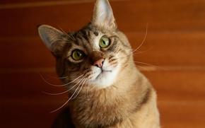 Picture cat, face, Koshak, red, Kote
