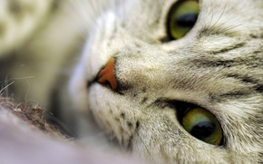 Picture eyes, cat, macro, fluffy