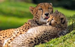 Picture love, cub, kitty, cheetahs, motherhood