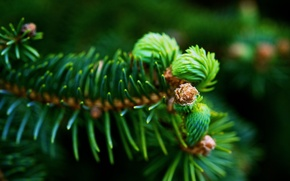 Picture macro, table, spruce branch, Wallpapers, green needles