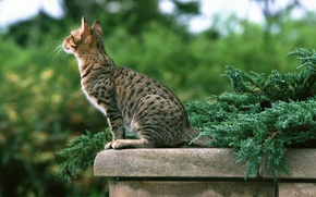 Picture greens, cat, striped, the parapet