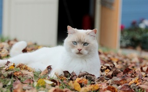 Picture cat, look, leaves, white, fallen, autumn