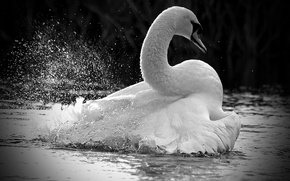 Picture white, squirt, lake, bird, Swan, white, bird, water, lake, Swan, spray