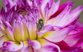 Picture flower, macro, fly, insect, Dahlia, Wallpaper from lolita777