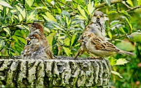 Wallpaper leaves, squirt, birds, branches, bathing, shower, sparrows, bath day