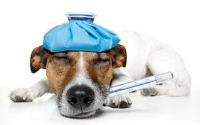 Picture dog, humor, sleeping, lies, thermometer, temperature, Jack Russell Terrier, on the head, warmer, teeth