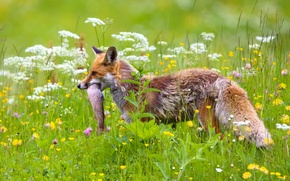 Picture flowers, fish, meadow, Fox, mining, catch