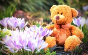 Picture flowers, spring, bear, crocuses, Teddy, plush, spring
