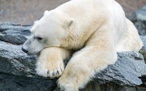 Picture sadness, stone, polar bear, polar, ©Tambako The Jaguar