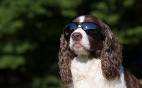 Picture background, dog, glasses