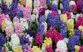 Picture bright, carpet, colorful, hyacinths
