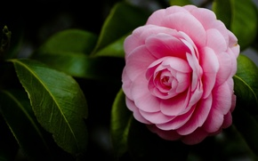 Picture flower, macro, pink, petals, Camellia