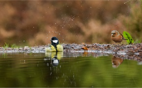 Picture birds, puddle, tit