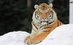 Picture snow, tiger, paws