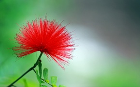 Wallpaper flower, red, background