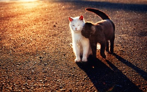 Picture cats, black, white, weasel
