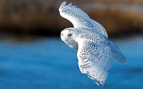 Picture flight, white owl, wings, snowy owl, bird