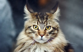 Wallpaper cat, cat, Maine Coon, Maine Coon