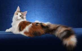 Picture cat, cat, background, widescreen, Wallpaper, wallpaper, widescreen, cat, background, full screen, HD wallpapers, widescreen, fullscreen, ...