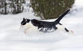 Picture winter, cat, cat, snow, runs, ©Tambako The Jaguar
