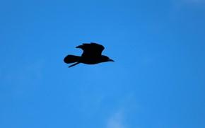 Picture sky, crow, flight