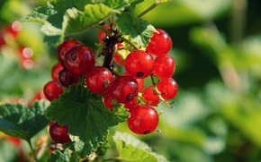 Wallpaper currants, berries, Bush, leaves